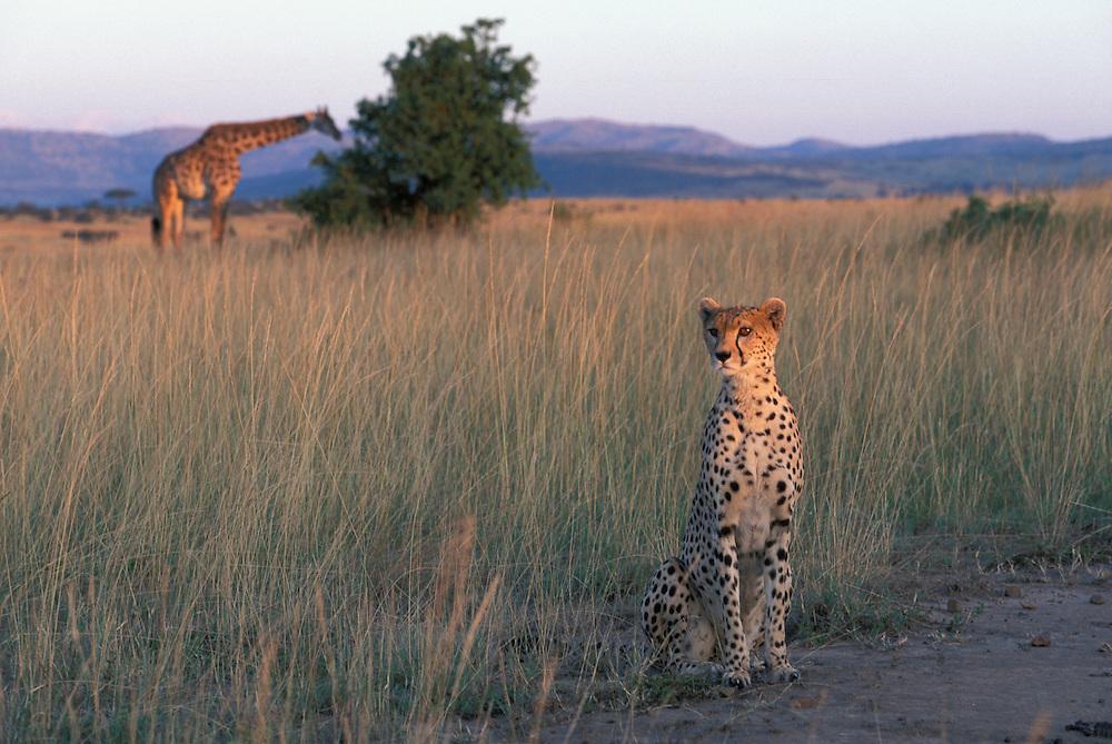 Afroca. Kenya, Masai Mara Game Reserve, Cheetah (Acinonyx jubatas) sits at edge of tall grass on savanna at sunset near feeding Giraffe (Giraffa camelopardalis)