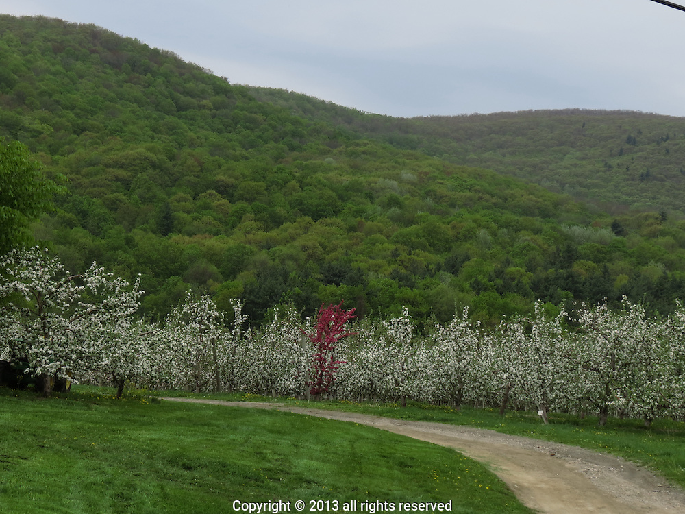A Spring storm breezes across the land  while  apple trees  hold on  to their blossoms, for a while