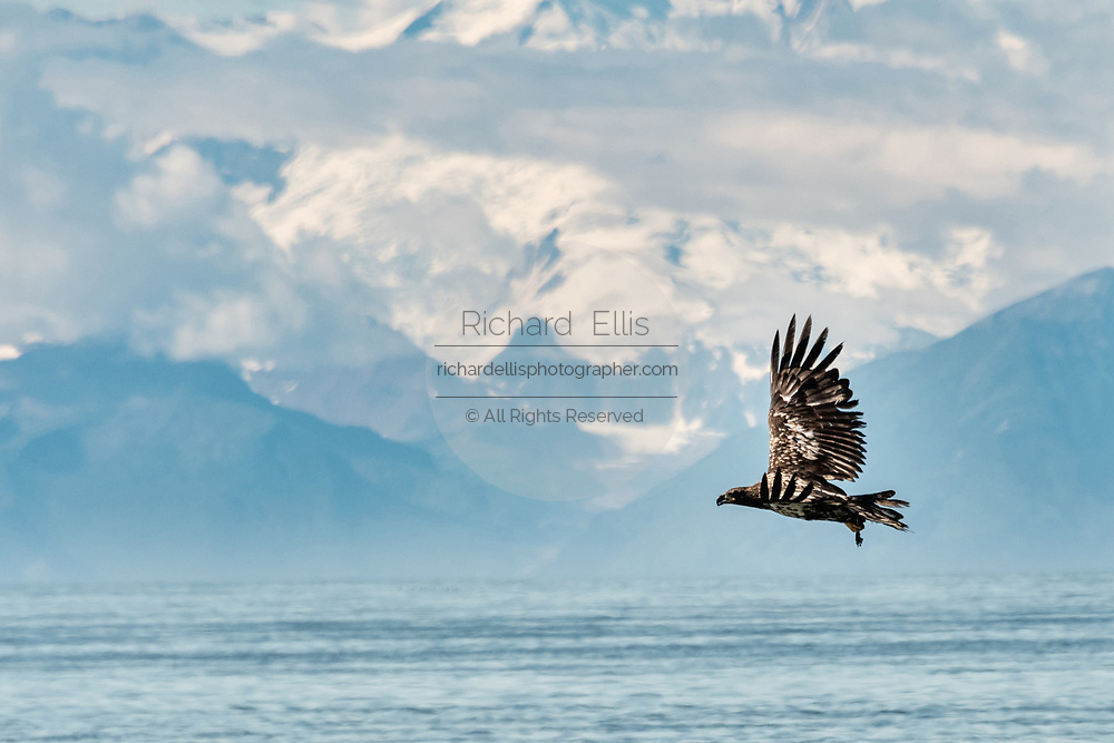 A juvenile bald eagle flies past the Chigmit Mountains along the beach on the Cook Inlet at Anchor Point, Alaska.