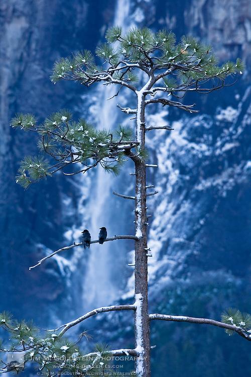 Crows (Corvidae corvus) in front of Bridalveil Fall, Yosemite