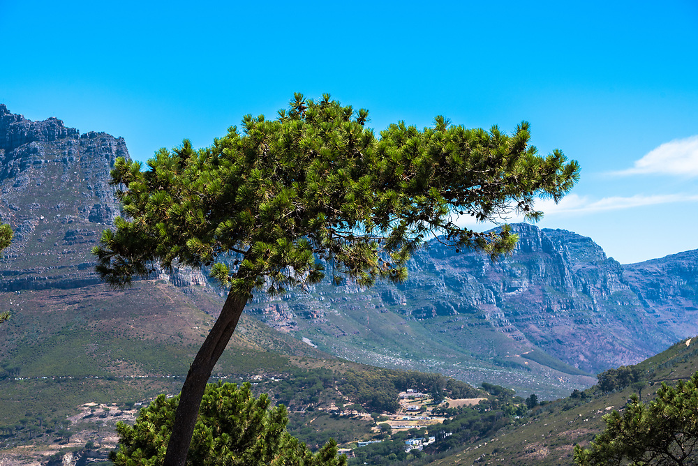 A shot of an iconic African tree with Table Mountain in the background.