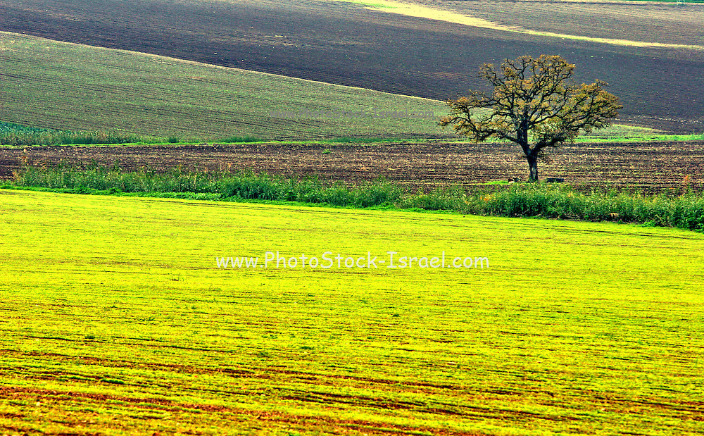 Green and yellow Meadows with a lone tree, Galilee, Israel