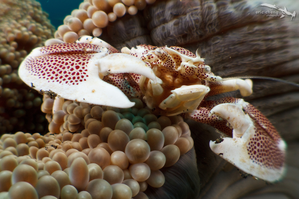 Spotted porcelain crab (Neopetrolisthes maculata) on a Haddon's sea anemone (Stichodactyola haddoni). Lembeh Strait, Indonesia. echeng100306_0253587