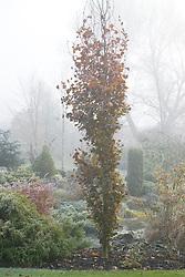 Fagus sylvatica 'Dawyck' - Beech in winter