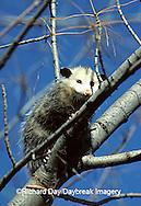 01750-001.20 Virginia Opossum (Didelphis virginiana) juvenal in tree   IL