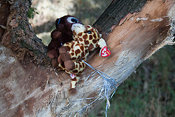 © Licensed to London News Pictures. 17/07/2017. Baxterley, North Warwickshire UK. Three people were killed in Baxterley, North Warwickshire when the BMW car they were in hit a tree. It is believed 2 18 year old males died along with a 19 year old female. Pictured, teddy bears are tied to the tree the car hit.  Photo credit: Dave Warren/LNP