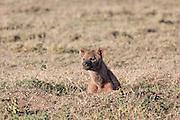 Pregnant Spotted Hyena in Tanzania