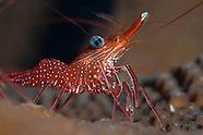 Rhynchocinetes sp. (Hingebeak shrimp)