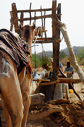 Niger, Agadez, Tidene, 2007. Two camels are used at this well, each taking turns raising water bags in a well-rehearsed rhythm.