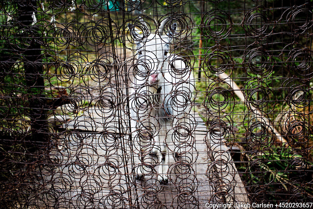 A danish family has moved deep into the Swedish woods to build their own house. The innards from a mattres is used as a fence to keep the goat from the hut.