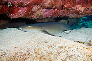 A nurse shark ( Ginglymostoma cirratum ) finds a quiet place to rest in the reef.