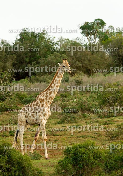 Girafas in Schotia Safaris on June 24, 2010  in the Eastern Cape reserve, Addo area, near Port Elizabeth,  South Africa. (Photo by Vid Ponikvar / Sportida)