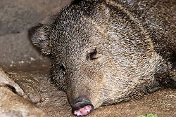 03 July 2006  A quick vacation through Iowa to Omaha.  Peccary. (Photo by Alan Look)