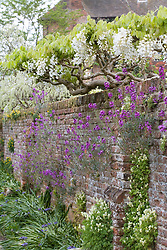 Wisteria venusta with Erysimum 'Bowles' Mauve' growing out of the wall on one side of the Moat Walk at Sissinghurst Castle