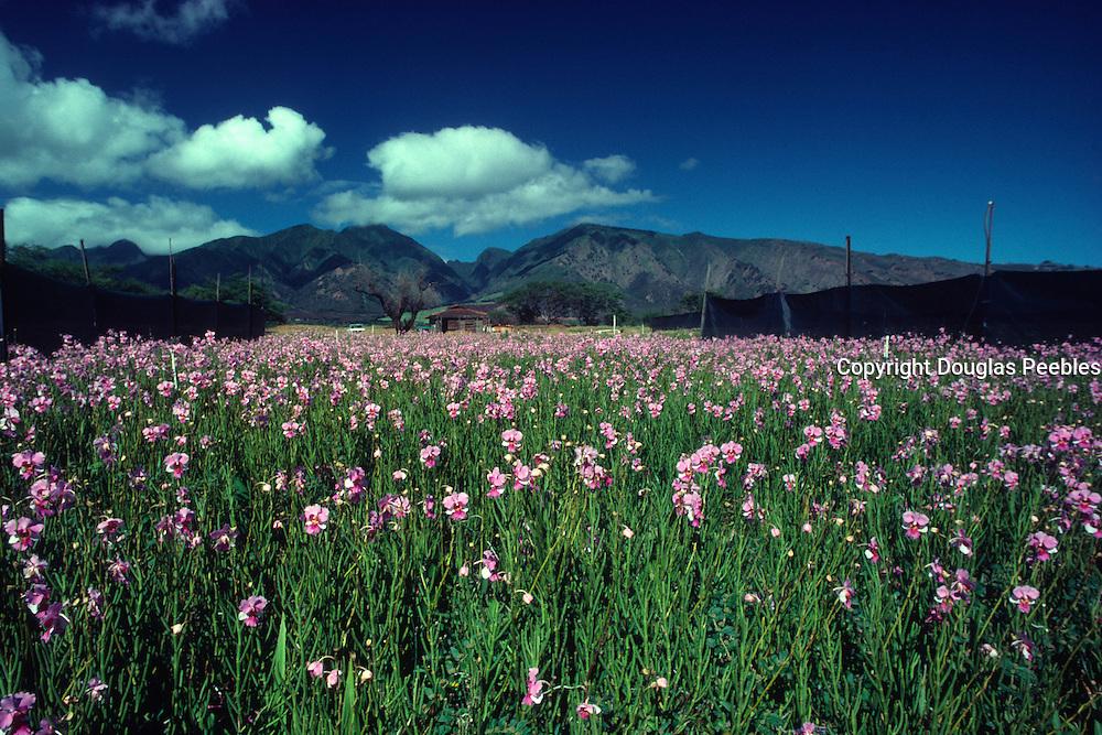 Orchid farm, Wailuku, Maui, Hawaii<br />