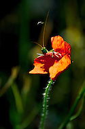 Little bug standing over red poppy