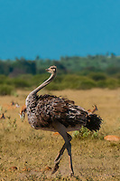 Female ostrich doing a mating dance (to attract male ostrich), Nxai Pan National Park, Bostwana.