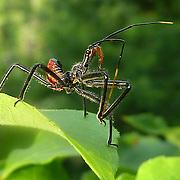 Arilus cristatus or called wheel bug belongs to the Reduviidae family.