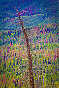 Desicated tree, Rocky Mountain National Park, Colorado