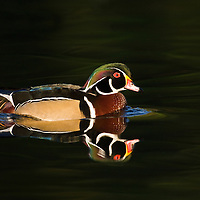 Wood duck swimming in pond Cleveland, Ohio.