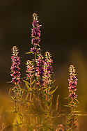 Purple-loosestrife (Lythrum salicaria) flower spikes in evening light, Scotland