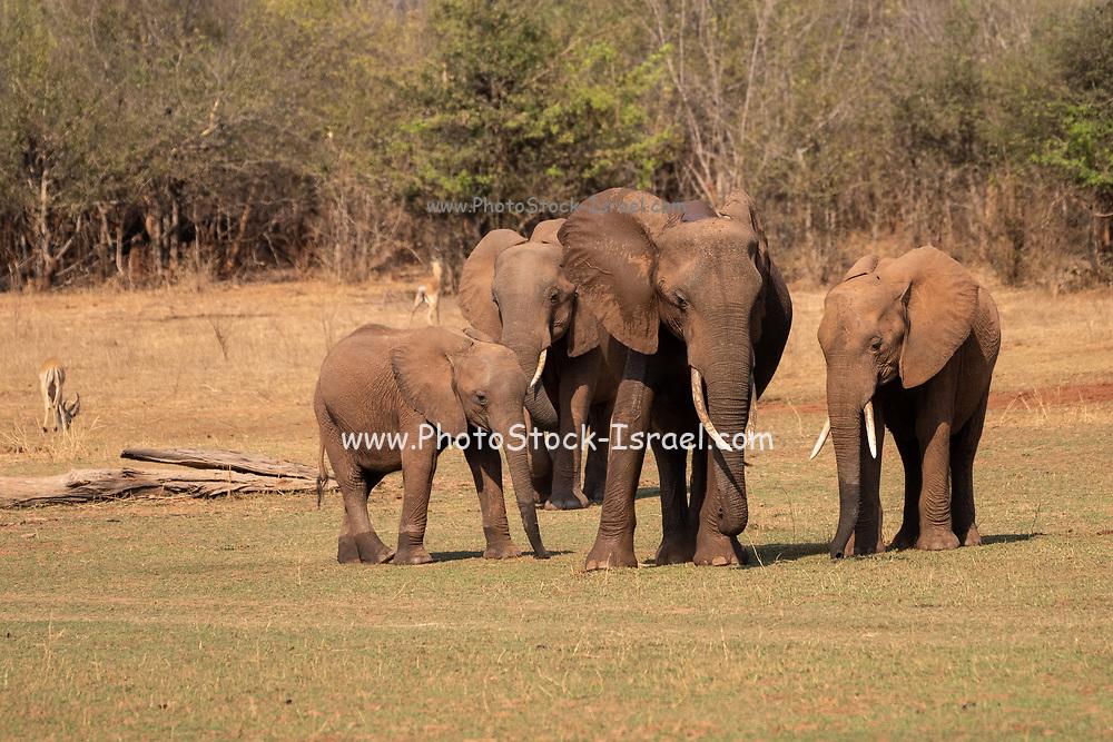 A herd of African Bush Elephants (Loxodonta africana) Photographed at Lake Kariba National Park, Zimbabwe
