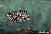 spotted boxfish, whitespotted boxfish, spotted trunkfish, moa, or pahu, Ostracion meleagris, female, Kahaluu Beach Park, Keauhou, Kona, Hawaii ( Central Pacific Ocean )