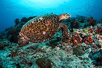 Hawksbill Turtle<br /> <br /> shot in Indonesia