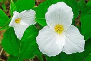 large flowered trillium (Trillium grandiflorum) <br />Horshoe Lake<br />Ontario<br />Canada