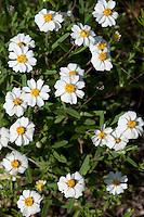 Plains Black-foot Daisy, (Melampodium leucanthum),  Blanco County, Texas