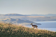 Pronghorn (Antelope) in Habitat Pronghorns on terrain overlooking a reservoir
