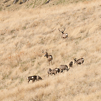 mule deer bucks around doe herd during rut, open country grass hills