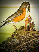 Idaho, Wildlife, Birds, Mother Robin feeding her newborn chicks a a green grub.