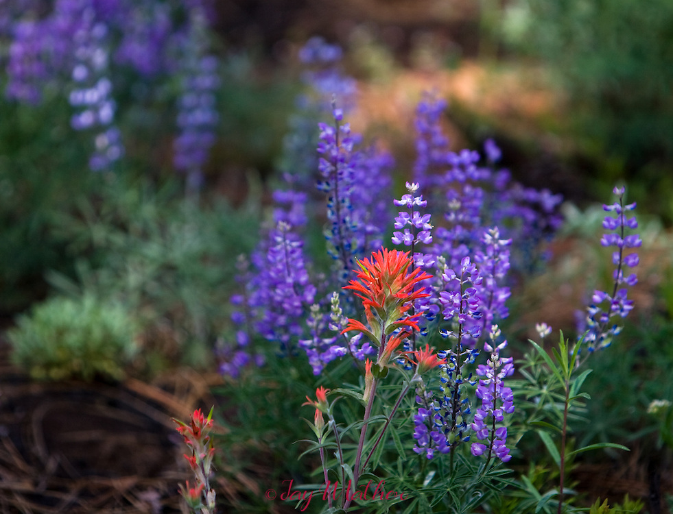 Lupine and Indian Paintbrush bloom in a meadow near Sisters, Oregon.