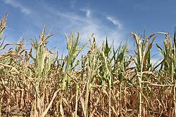 August 1, 2018 - RonquièRe | RonquièRe, Belgium - Corn in the summer 2018 | Maïs l'été 2018 01/08/2018 (Credit Image: © Jean-Luc FléMal/Belga via ZUMA Press)