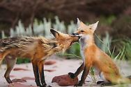 Foxes, Prince Edward Island National Park