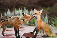 Foxes, Prince Edward Island National Park