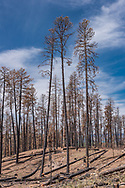 Tall ponderosa pine trees being cut for timber salvage. The salvage logging was carried out about 10 months after the Cajete Fire that burned in June and July 2017, killing many large ponderosa pines from the intense heat of ground fire burning pine needles, sticks, and pine cones built up in more than a century of fire suppression. © 2018 David A. Ponton