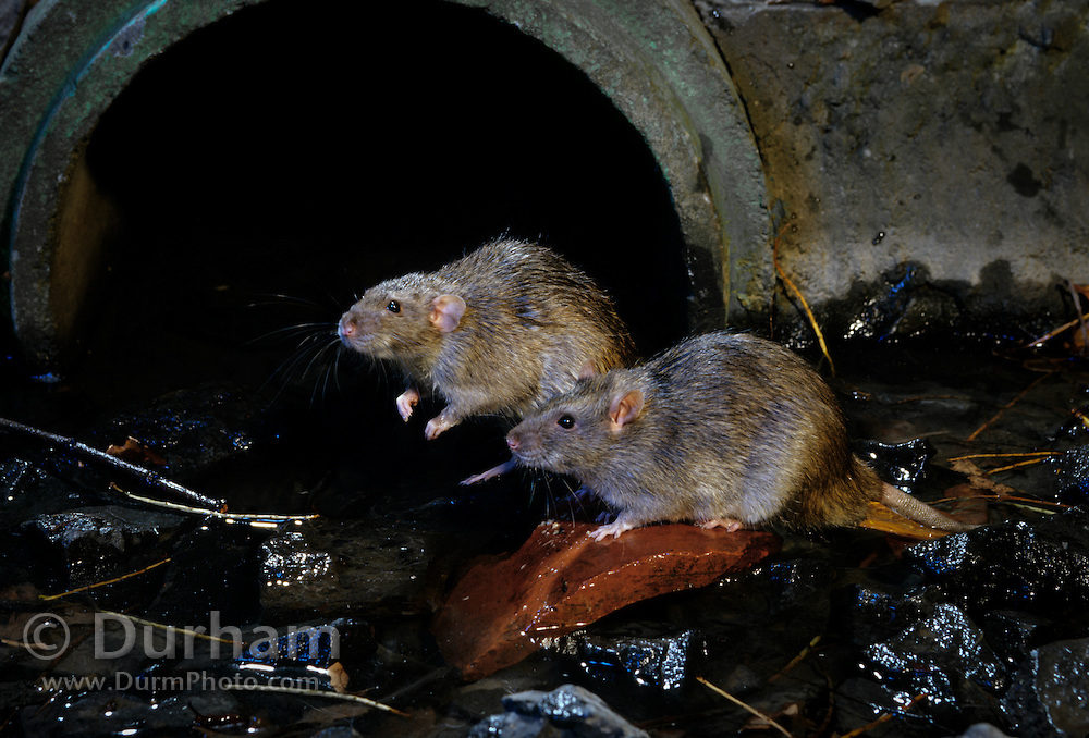 Two brown rats (Rattus norvegicus) near city sewer outlet. Portland, Oregon.These rats are not native, but are european in origin and have followed human settlements around the world. Captive illustration.