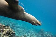 This Galapagos sea lian was very curious about that creation with the big yellow feets and the flashing gear | Denne Galapagossjøløven var veldig nysgjerrig og leken. Den lurte sikkert felt på hva slags dyr jeg var med de store gule føttene og den rare lysende innretningen.