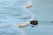 An olive ridley sea turtle hatchling (Lepidochelys olivacea) on its way to the sea. They orient themselves by the brightness of the horizont above the ocean and they are always at risk of being eaten by birds, crabs or later by fish. | Die junge Oliv-Bastartdschildkröte (Lepidochelys olivacea) hat es trotz der lauernden Geier, Störche, Hunde und Krabben bis zum Spülsaum geschafft. Ihre Kraftreserven aus dem Dotter werden ihr nun helfen, einen ganzen Tag lang fast ununterbrochen zu schwimmen. Als Orientierung dient dabei die Wellenrichtung, gegen die sich die kräftigen Winzlinge stemmen, um die Küste hinter sich zu lassen. Doch auch im Wasser lauern Gefahren: Raubfische von unten und Fregattvögel von oben.