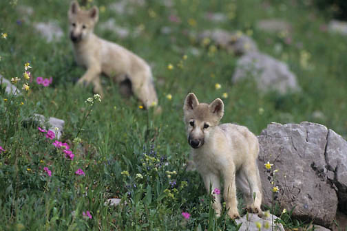 Arctic Wolf, (Canis lupus tundriarum) Pups. Summer. Montana. Captive Animal.