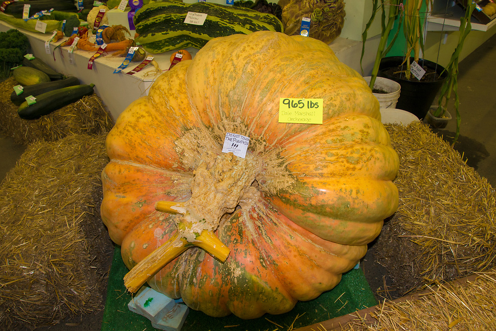A massive pumpkin is placed in a contest to see if it weighs more than any other competitors.