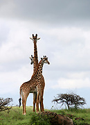 Three Masai Giraffes (Giraffa camelopardalis) of different height Photographed in Tanzania, Serengeti National Park.