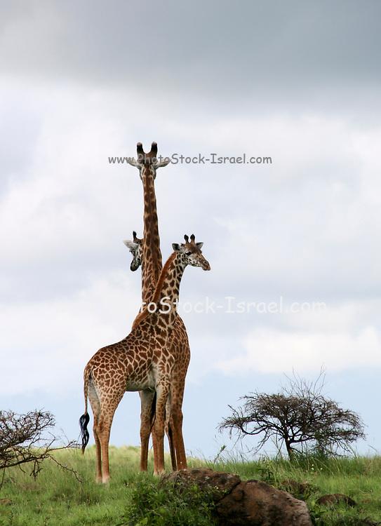 Three Masai Giraffes (Giraffa camelopardalis) of different height Photographed in Tanzania, Serengeti National Park.