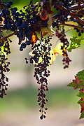 Withered Merlot grapes on an ancient vine at Chateau Fontcaille Bellevue, in Bordeaux region of France