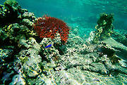 Crown of Thorns Starfish, Upolu, Samoa<br />