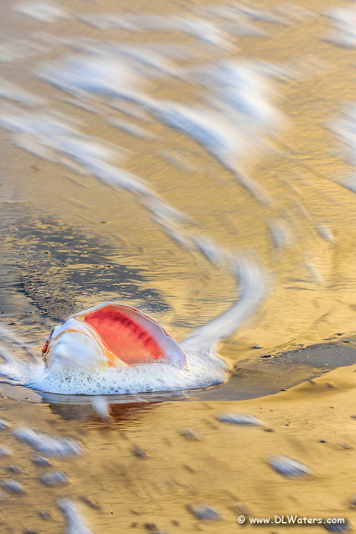 Long exposure of a whelk shell in the surf at sunrise at a Outer Banks beach.