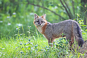 Gray Fox in Habitat