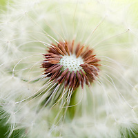 dandelion close-up with missing seeds in the middle of the flower.  Detail on missing spores.